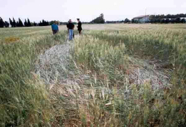 Cerchio nel grano Villaspeciosa